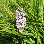 James is out exploring the meadows that we conservation graze through the winter. By leaving our sheep and cattle off these meadows in the summer, they flourish and beautiful wildflowers like this orchid can thrive, creating fantastic habitats for butterflies and bees. #grazier #farmlife #cotswolds #regenerativeagriculture #farmingwithnature #wildlife #wildflowers #habitatconservation #countryside #soilhealth #britishwhites #portlandsheep #castlemilkmooritsheep #rarebreeds #gonative #nativebreeds #pasturefed #britishbeef #britishlamb #slowgrown #buylocal #foodforthought #feedthesoul #meatbox #buylessbuybetter #eatwell #cotswoldfoodie #slowfood