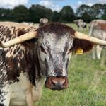 Went to look at the fantastic @gentons_longhorns over the weekend. It was great to see their herd and learn from Ben about the amazing work they are doing. We are getting really excited about introducing this native breed of cattle into the Heritage Graziers team, and being able to offer our customers beef with such a renowned reputation for taste and quality. #farming #farmingfamily #farm365 #foodforthought #feedthesoul #soilhealth #regenerativeagriculture #pasturefed #grassfed #grassfinished #nativebreed #grassfedlamb #grassfedbeef #lambbox #beefbox #hogget #britishlamb #britishbeef #meatbox #buylessbuybetter #goodfood #healthymeat #cotswoldfoodie #slowfood #ethicalfood #tellyourstory #grazierlife #longhorncattle #longhornbeef