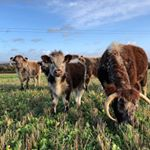Our Longhorns have also gone onto the cover crop. They are currently on the opposite side of a strand of electric to our British White herd, giving them all a good opportunity to get to know each other, before we run them in together. #farming #farmingfamily #farm365 #foodforthought #feedthesoul #soilhealth #regenerativeagriculture #pasturefed #grassfed #grassfinished #nativebreed #grassfedlamb #grassfedbeef #lambbox #beefbox #hogget #britishlamb #britishbeef #meatbox #buylessbuybetter #goodfood #healthymeat #cotswoldfoodie #slowfood #ethicalfood #tellyourstory #grazierlife #longhorn #longhornbeef #britishwhitecattle