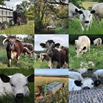 Kick starting 2020 with a review of our #best9of2019.. It seems our social media followers are definitely cow fans - the sheep didn't get a look in! Our new adventure at the Bruern Estate got loads of support from our followers too. The grid shows our new Longhorn herd, which was an exciting investment for us this year, and of course some pictures that show the stock grazing in wildflower meadows and water meadows - representing our commitment to provide prescriptive grazing to suit the local environment. Thank you for all your likes and comments over the last year, let's hope we can provide just as much interest in 2020. Happy New Year! #farming #farmingfamily #foodforthought #feedthesoul #soilhealth #regenerativeagriculture #pasturefed #grassfed #grassfinished #nativebreed #grassfedlamb #grassfedbeef #lambbox #beefbox #hogget #britishlamb #britishbeef #meatbox #buylessbuybetter #goodfood #healthymeat #cotswoldfoodie #slowfood #ethicalfood #tellyourstory #grazierlife #longhorn #longhornbeef #britishwhitecattle