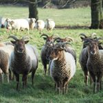 The sheep have been reunited after tupping. The rogue Castlemilk Moorits pictured at the front have yet again been destroying the electric fencing - however now it's far more fun for them as they can lead the Portland's astray too \ud83d\ude2c @castlemilk_moorit_sheep #farming #farmingfamily #farm365 #foodforthought #feedthesoul #soilhealth #regenerativeagriculture #pasturefed #grassfed #grassfinished #nativebreed #grassfedlamb #grassfedbeef #lambbox #beefbox #hogget #britishlamb #britishbeef #meatbox #buylessbuybetter #goodfood #healthymeat #cotswoldfoodie #slowfood #ethicalfood #tellyourstory #grazierlife