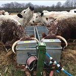 Friday #captioncompetition.. A pair of Native Breed British White Rump Steaks for the funniest caption to this daft photo! To enter, make sure you are following us, like the post and tag a friend with your caption. Entries close next Friday. UK winner only I'm afraid! #FridayFunny #Longhorns #britishwhites #Competition #win