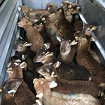 Lambing is all finished and we've started taking the ewes and their lambs from the field we rent around home back to the Estate. Lovely to get the ewes onto clean, lush grazing. We are delighted with how our lambing season has gone. 51 beautiful, native breed lambs - a whopping 35 of them ewes and just under a 4% loss rate despite some difficult presentations. As always, none needing bottle feeding thanks to the hardy, strong mothering instincts of our native breeds and good shepherding from @loopyewes \ud83d\udc4d\ud83d\udc0f #farming #farmtotable #supportyourlocalfarmers #eatwelllivewell #ethicaleating #craftmeat #meetyourmeat #foodforthought #feedthesoul #bethechange #soilhealth #regenerativeagriculture #pasturefed #grassfed #grassfinished #nativebreed #grassfedlamb #hogget #britishlamb #meatbox #buylessbuybetter #goodfood #cotswoldfoodie #slowfood #castlemilkmoorit #portlandsheep