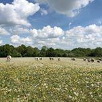 Walking the cows across the Estate yesterday to their new grazing, we went through an arable field that has been left to rest. It was full of dandelion seed heads and quite magical to walk through. #farming #farmtotable #supportyourlocalfarmers #eatwelllivewell #ethicaleating #craftmeat #meetyourmeat #foodforthought #feedthesoul #bethechange #soilhealth #regenerativeagriculture #pasturefed #grassfed #grassfinished #nativebreed #grassfedlamb #grassfedbeef #hogget #britishlamb #britishbeef #meatbox #buylessbuybetter #goodfood #cotswoldfoodie #slowfood #ethicalfood #longhorn #longhornbeef #britishwhitecattle