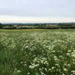 Spot the sneaky British White calf hiding in the #cowparsley.. It took James over an hour to find him! \ud83d\ude2c