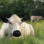 Tasty grass, nice weather, quiet meadow.. happy cows \ud83d\udc2e