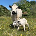 A British White heifer calf born today. Hurrah our first British White heifer this calving! We are really delighted as she has lovely markings and was born to a cow who lost her first calf last year.