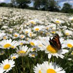 Something colourful and full of hope to cheer you up on a dreary wet day - butterflies enjoying a field of #oxeyedaisy at one of our conservation grazing projects.