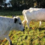 Mooooving the cows onto a new section of the wildflower meadow - is it just me that sounds this ridiculous when talking to their cows?! \ud83e\udd2a