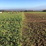 First #mobgrazing move completed today on the #arablecovercrop It's great to see the cattle eating it down so well whilst trampling some in and leaving behind their super-powered manure \ud83e\udd1c\ud83d\udca9 #soilhealth #regenerativeagriculture