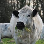 It's #worldsoilday and our native breed cattle are out on an #arablecovercrop grazing, trampling and pooping to create healthier soil for the farmer who owns the land. Arable farmers can grow a cover in between their main crops. Soil isn't naturally bare, so these cover crops provide valuable protection for the soil, protecting it from harsh weather and soil erosion. In addition, cover crops can include grasses or legumes that naturally add nutrients into the soil. Our livestock go onto these cover crops improving the soil health through grazing, trampling and digestion \ud83d\udc2e\ud83d\udca9\ud83e\udd1c\ud83d\udcaa